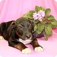 Adopt A Pet :: Snickers - Washington, DC