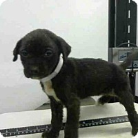 Adopt A Pet :: A1442535 - Houston, TX