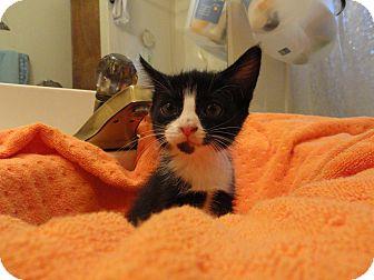 Domestic Shorthair Kitten for adoption in Phoenix, Arizona - BUBBLES