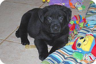 Labrador Retriever/German Shepherd Dog Mix Puppy for adoption in Minneola, Florida - Axel