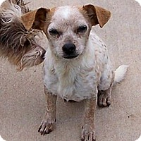 Adopt A Pet :: Roxy - San Angelo, TX