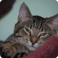 Domestic Shorthair Cat for adoption in Marietta, Georgia - Flip
