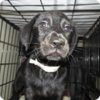 Adopt A Pet :: Felice - Rocky Mount, NC