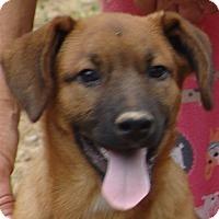 Adopt A Pet :: Shep - Spring Valley, NY