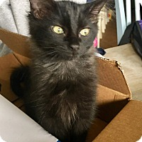 Domestic Shorthair Kitten for adoption in Navarre, Florida - Madonna