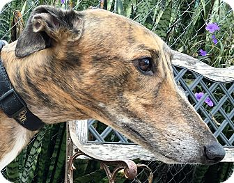 Greyhound Dog for adoption in Longwood, Florida - N Luke