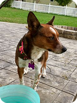 Cattle Dog Mix Dog for adoption in Manhattan, Kansas - Autumn