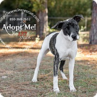 Adopt A Pet :: Rose - Navarre, FL