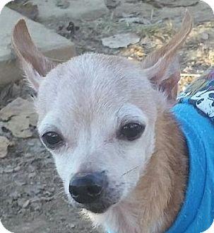 Chihuahua Mix Dog for adoption in Lexington, Kentucky - Mr. Jones
