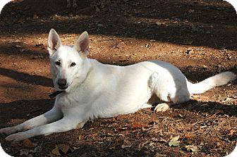 German Shepherd Dog Dog for adoption in West Springfield, Massachusetts - Caleb
