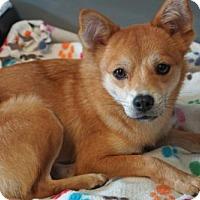 Shiba Inu Mix Dog for adoption in Agoura Hills, California - 'YOMIKO'