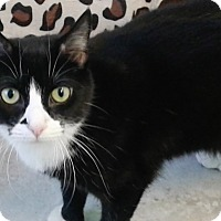 Domestic Shorthair Cat for adoption in Fairfax, Virginia - Puffin