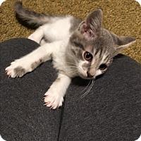 Domestic Mediumhair Kitten for adoption in Butner, North Carolina - Derby