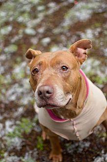 American Staffordshire Terrier Dog for adoption in Eugene, Oregon - Mi-Mi