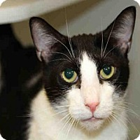 Domestic Mediumhair Cat for adoption in Jacksonville, Florida - PSYPHER