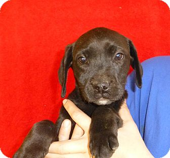Labrador Retriever Mix Puppy for adoption in Oviedo, Florida - Amy