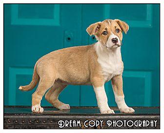 Shepherd (Unknown Type)/Boxer Mix Puppy for adoption in Owensboro, Kentucky - Macaroni
