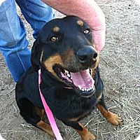 Rottweiler Dog for adoption in Kaufman, Texas - Sheba