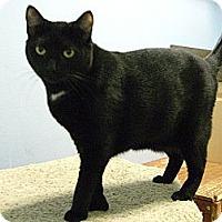 Polydactyl/Hemingway Cat for adoption in Jupiter, Florida - Princess #1