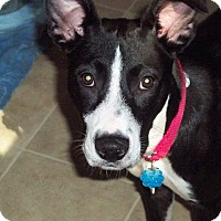 Adopt A Pet :: SHEBA - New Yor, NY