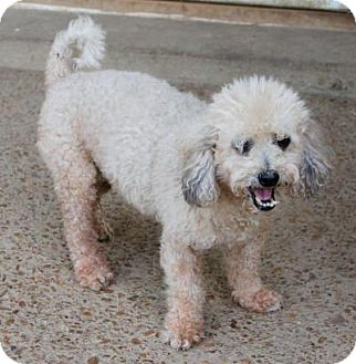 Poodle (Standard) Dog for adoption in Memphis, Tennessee - Murphy