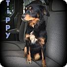Adopt A Pet :: Tippy