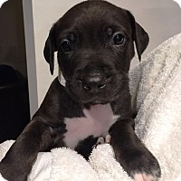 Adopt A Pet :: Kris Kringle - Ft. Lauderdale, FL