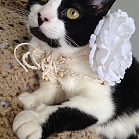 Adopt A Pet :: CLAIRE/ LAP KITTY - Bryn Mawr, PA