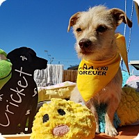Adopt A Pet :: Cricket - Apple Valley, CA