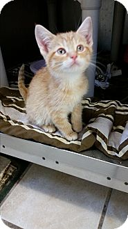 Domestic Shorthair Kitten for adoption in Chippewa Falls, Wisconsin - Licine