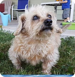 Dachshund/Cairn Terrier Mix Dog for adoption in Denver, Colorado - FOSTER HOME Penney
