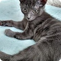 Russian Blue Kitten for adoption in Los Angeles, California - Sasha