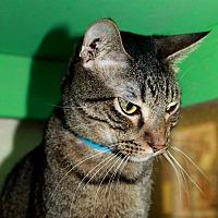American Shorthair Cat for adoption in Arkadelphia, Arkansas - Emmett