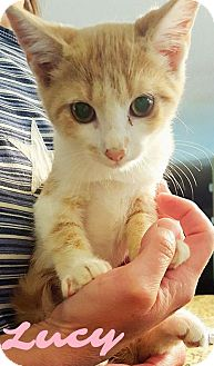 Domestic Shorthair Kitten for adoption in Capshaw, Alabama - Lucy B