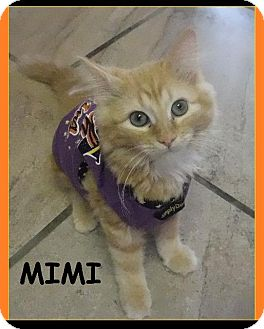 Domestic Shorthair Kitten for adoption in Batesville, Arkansas - Mimi