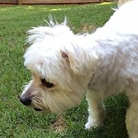 Maltese Mix Dog for adoption in Alpharetta, Georgia - McGuffy