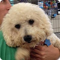 Poodle (Miniature) Mix Dog for adoption in Las Vegas, Nevada - Gracie