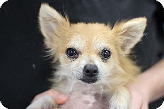Chihuahua/Pomeranian Mix Dog for adoption in College Station, Texas - Manny 5 pounds