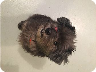 Toy Poodle Mix Dog for adoption in Muskegon, Michigan - Bennett