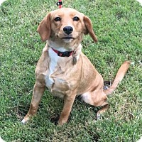 Adopt A Pet :: Blair - Houston, TX
