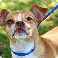 Adopt A Pet :: Cindy Lauper - Brownsville, TX
