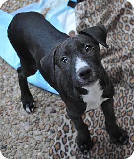 Labrador Retriever Mix Puppy for adoption in Atlanta, Georgia - Mackenzie