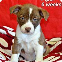 Labrador Retriever/Border Collie Mix Puppy for adoption in Yreka, California - Piper