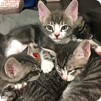 Adopt A Pet :: Ginger - Marina del Rey, CA