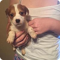 Adopt A Pet :: Ollie - Washington, DC