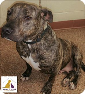 Pit Bull Terrier Mix Dog for adoption in Eighty Four, Pennsylvania - Brin