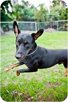 Doberman Pinscher Mix Dog for adoption in Santee, California - Ranger