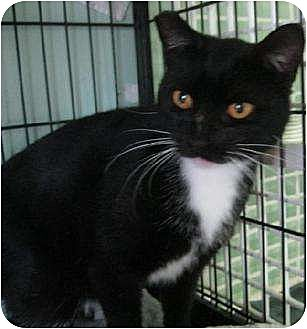 Domestic Shorthair Cat for adoption in Palm City, Florida - Duchess