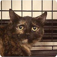 Domestic Shorthair Cat for adoption in Chino, California - Jenelle