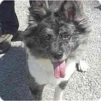 Australian Shepherd/Australian Cattle Dog Mix Dog for adoption in Versailles, Ohio - Hilda